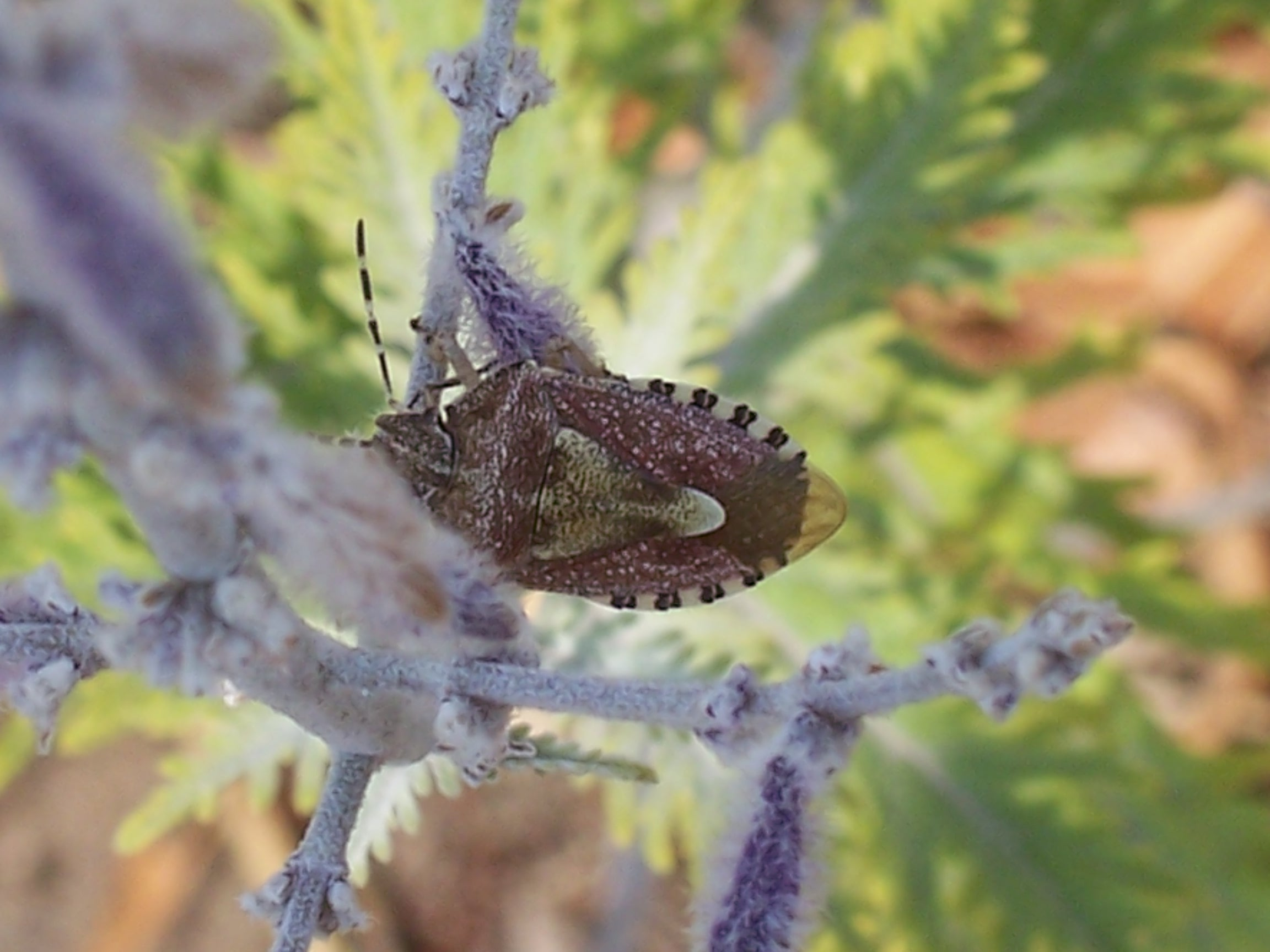 le dolycoris baccarum , pentatome des baies
